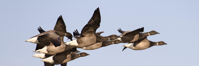 les oiseaux de l'île de Ré