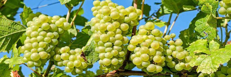 les vins sur l'île de Ré