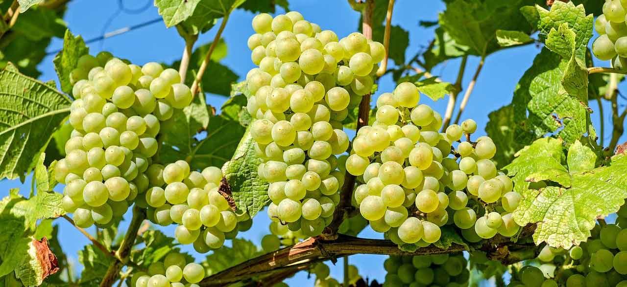 vin blanc Ile de Ré